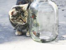 滑稽的镶边飞行在一个玻璃瓶子的猫观看的蝴蝶  图库摄影