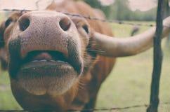 滑稽的长角牛母牛 库存照片
