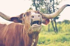 滑稽的长角牛母牛 库存图片