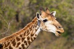 滑稽的长颈鹿 免版税库存照片