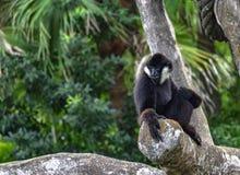 滑稽的面对的男性北白的Cheeked长臂猿Nomascus leucoge 库存图片