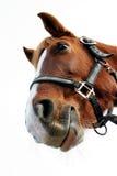 滑稽的马 免版税库存图片