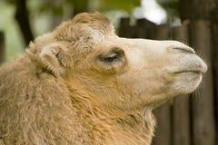 滑稽的骆驼 库存图片