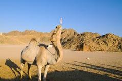 滑稽的骆驼 免版税图库摄影