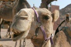 滑稽的骆驼 免版税库存照片