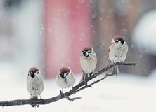 滑稽的鸟坐在雪的一个分支在圣诞节 免版税库存图片