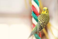 滑稽的鹦哥 Budgie鹦鹉坐绳索和戏剧 图库摄影