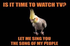 滑稽的鹦鹉meme,您要看电视?让我唱您我的人民歌曲  凉快的memes和行情 免版税库存照片