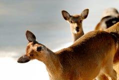 滑稽的鹿 免版税库存照片