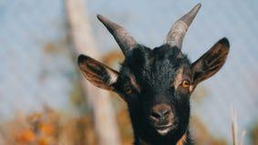 滑稽的黑幼小山羊枪口在自然关闭的看法 股票录像