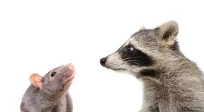 滑稽的鼠和浣熊画象  库存照片