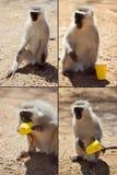 滑稽的猴子 免版税库存图片