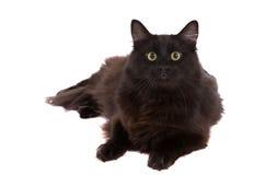 滑稽的catface 库存照片