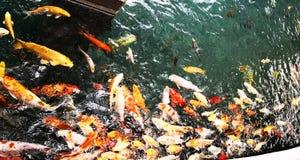 滑稽的Karasiki在一个人为池塘 免版税库存图片