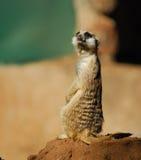 滑稽的suricate 库存照片