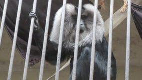 滑稽,美丽的猴子在动物园里,笼子的 免版税库存图片