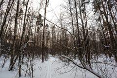 滑雪在莫斯科的郊区杉木森林里 库存照片