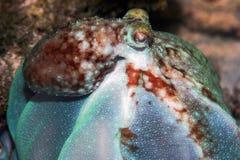 滚滚向前的章鱼 库存图片