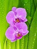 满地露水的叶子兰花粉红色 库存图片