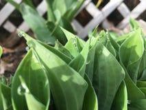 满地露水的玉簪属植物叶子 图库摄影