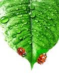 满地露水的瓢虫叶子二 免版税图库摄影