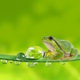 满地露水的青蛙叶子宏指令结构树 免版税库存图片