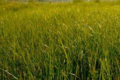 满地露水的草早晨 免版税图库摄影