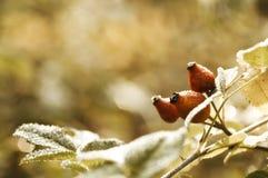 满地露水的野玫瑰果在秋天 库存图片