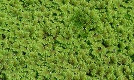 满江红属背景蕨叶子 库存照片