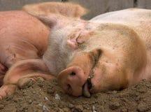 满足的猪 库存照片