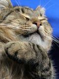 满足的猫 免版税图库摄影