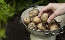 滤锅开掘了土豆 免版税图库摄影