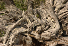 漂流木头树桩纹理 免版税库存照片
