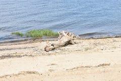 漂流木头特写镜头在沙滩的 库存图片