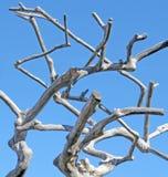 漂流木头反对蓝天的树形式 免版税图库摄影