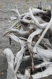 从漂流木头的根 免版税库存图片