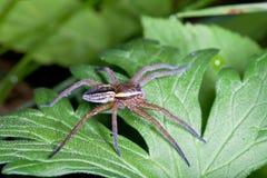 漂流蜘蛛,在一片绿色叶子的dolomedes fimbriatus 免版税库存照片