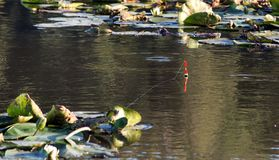 漂浮一条河的光滑的表面上有百合钓鱼的 免版税库存图片