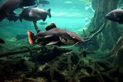 漂浮在一个大水族馆的一个大河鲶鱼在玻璃后 库存图片