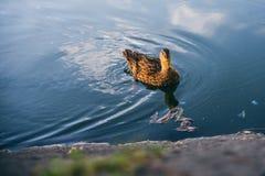 漂浮在一个小湖的逗人喜爱的黄色和棕色鸭子 图库摄影
