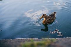漂浮在一个小的池塘的鸭子 免版税库存图片