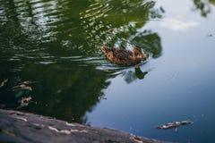 漂浮在一个池塘的布朗鸭子在一个晴天 库存照片