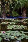 漂浮在一个池塘的水的中桃红色和白莲教花在一个公园 免版税库存照片