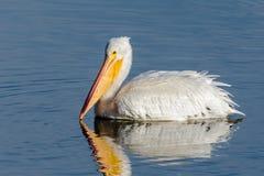 漂浮在一个蓝色湖的美国白色鹈鹕 免版税库存照片