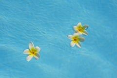 漂浮在一个蓝色水池的三九重葛花 免版税库存照片