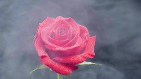 漂浮在一朵红色玫瑰附近的白色烟盖用水下落 股票视频