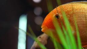 漂浮在与绿藻类和小木断枝的热带水族馆坦克的美丽的异乎寻常的金鱼特写镜头  ?? 影视素材