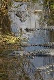 漂浮在佛罗里达` s沼泽地全国Pa的小组鳄鱼 库存图片