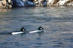 漂浮在冬天河下的两只共同的白颊鸭 免版税库存图片