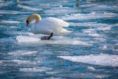 漂浮在冰的喇叭天鹅 免版税库存图片